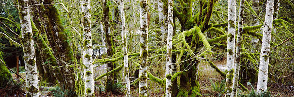 Peacefulness Photograph - Mossy Birch Trees In A Forest, Lake by Panoramic Images