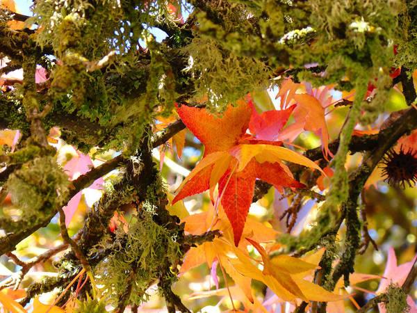 Orange Lichen Photograph - Mossy Lichen Tree Leaves Art Prints Autumn by Baslee Troutman