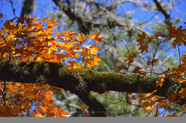 Wall Art - Photograph - Mossy Maple by Ricky Cerda