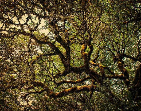 Photograph - Mossy Oak In Golden Sunlight by Julie Magers Soulen