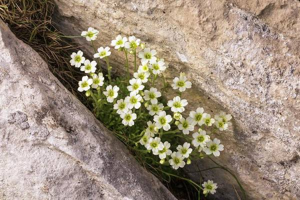 Wall Art - Photograph - Mossy Saxifrage (saxifraga Muscoides) In Flower by Bob Gibbons/science Photo Library