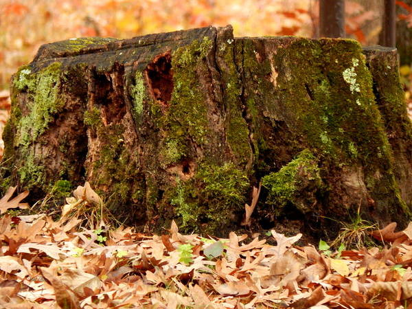 Photograph - Mossy Stump Jr by Wild Thing