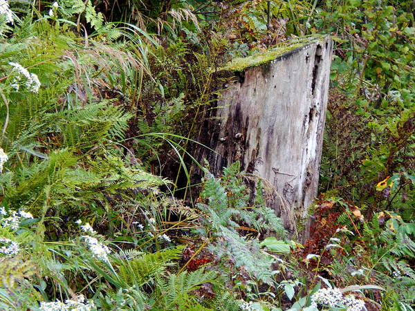 Photograph - Uncle Mossy Stump by Wild Thing