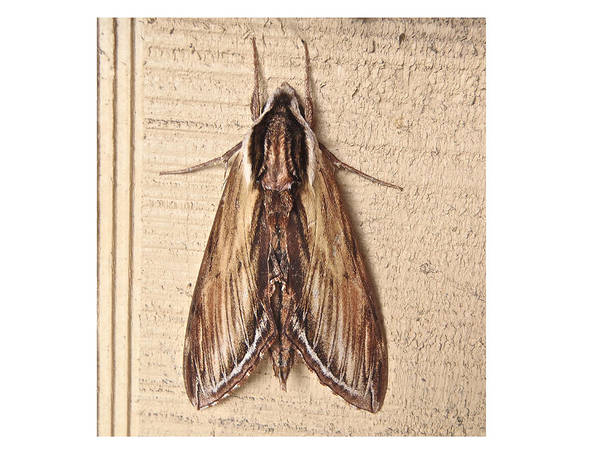 Kalmia Photograph - Laurel Sphinx Moth - Sphinx Kalmiae by Mother Nature