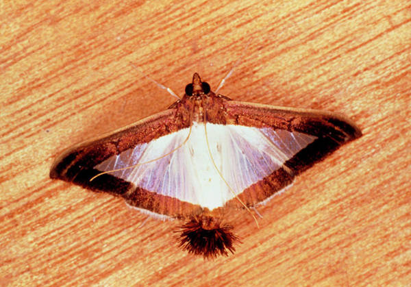 Released Photograph - Moth Emitting Pheromones From Scent Organ by Sinclair Stammers/science Photo Library