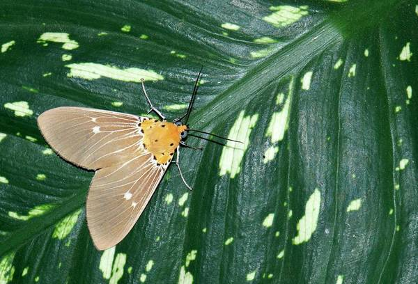Single Leaf Wall Art - Photograph - Moth (hypsa Alciphron) by K Jayaram