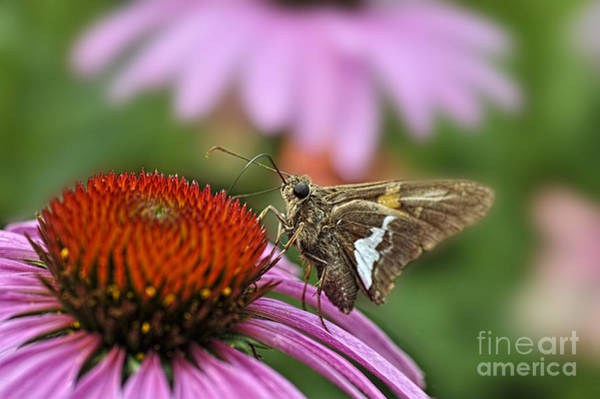 Photograph - Moth On Flower  by Dan Friend