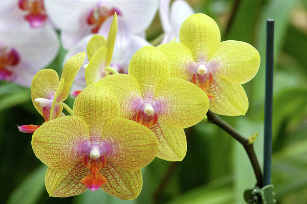Golden Gardens Photograph - Moth Orchids (phalaenopsis 'golden Wish') by Neil Joy/science Photo Library