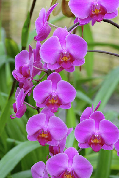 Wall Art - Photograph - Moth Orchids (phalaenopsis 'lennestadt') by Neil Joy/science Photo Library