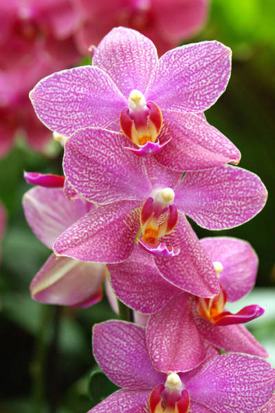 Wall Art - Photograph - Moth Orchids (phalaenopsis 'neuseeland') by Neil Joy/science Photo Library