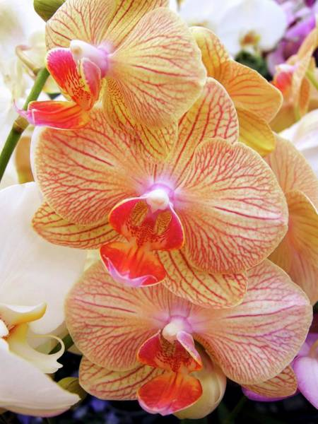 Wall Art - Photograph - Moth Orchids (phalaenopsis Sp.) by Ian Gowland/science Photo Library