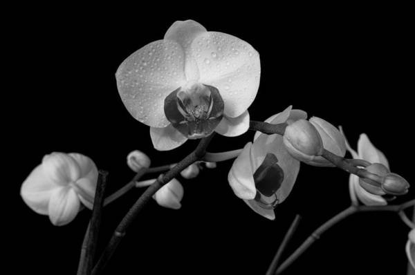 Moth Orchids Art Print