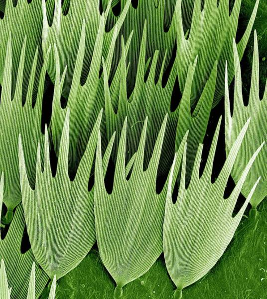 Wall Art - Photograph - Moth Wing Scales by Kevin Mackenzie / University Of Aberdeen / Science Photo Library