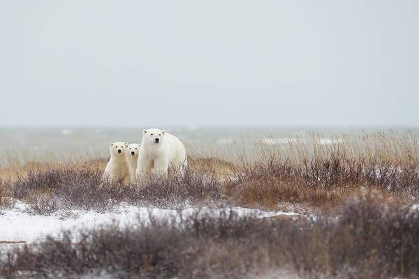 Polar Bear Photograph - Mother & Cubs At The Seaside by Marco Pozzi