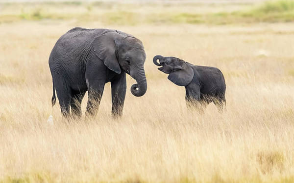 Wild Grass Photograph - Mother And Baby Elephants by Hua Zhu