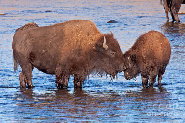Photograph - Mother And Calf Bison In The Lamar River In Yellowstone National Park by Fred Stearns