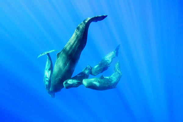 Scuba Diving Photograph - Mother And Her Calves by By Wildestanimal