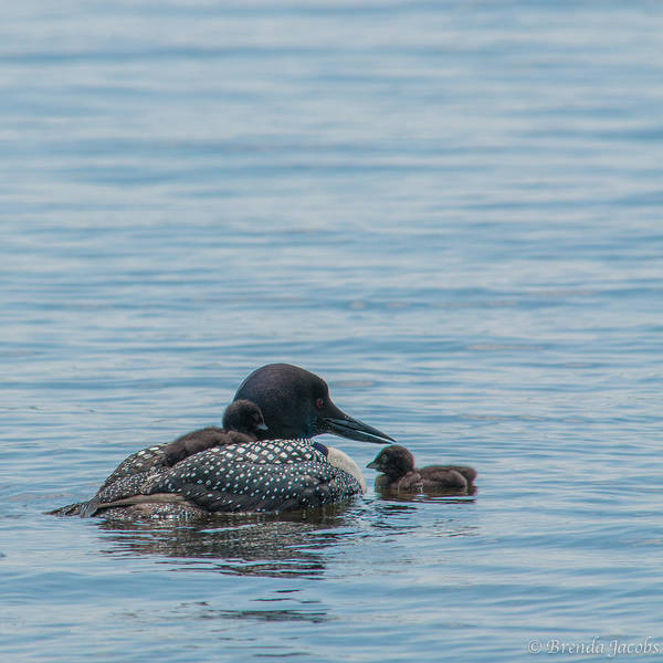 Photograph - Mother And Her Two Chicks by Brenda Jacobs