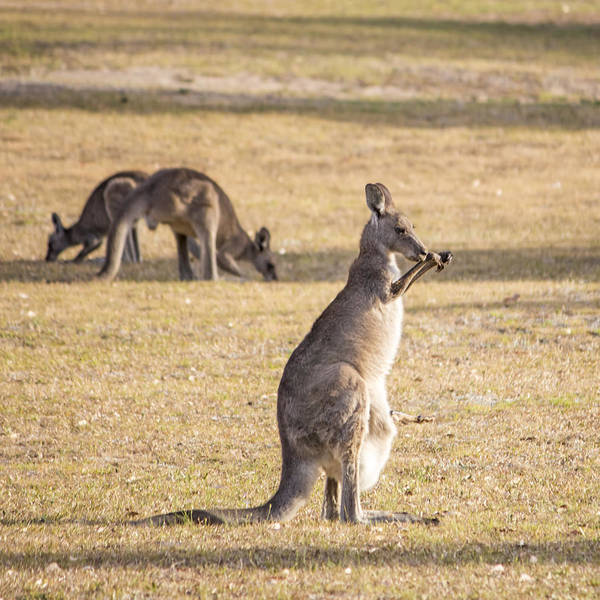 Photograph - Mother And Joey by Nicholas Blackwell