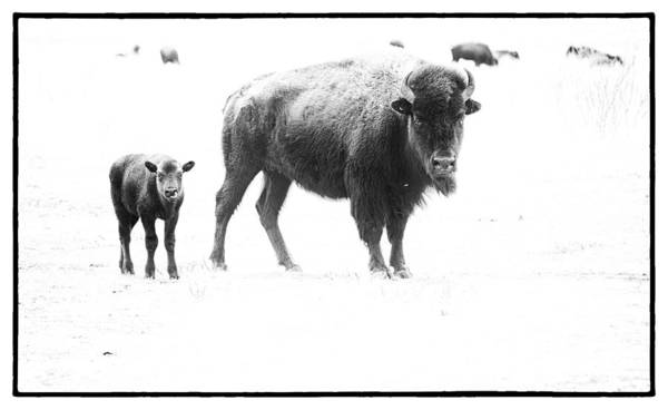 Photograph - Mother Bison And Her Calf by Melany Sarafis