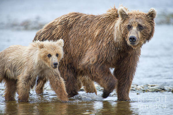 Photograph - Mother Brown Bear And Cub Walking Up Stream by Dan Friend