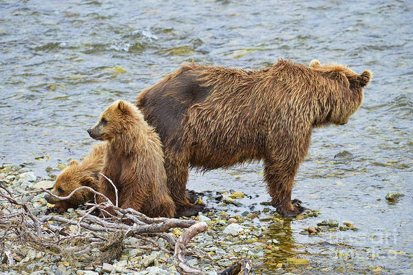Photograph - Mother Brown Bear And Cubs Resting On Shore by Dan Friend