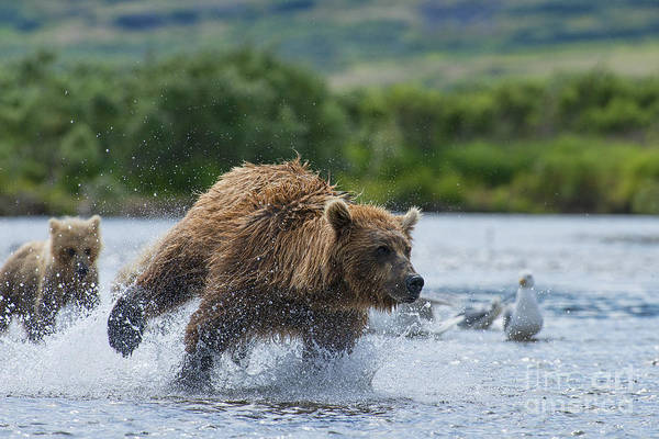Photograph - Mother Brown Bear Chasing Salmon For Food For Her Cubs by Dan Friend