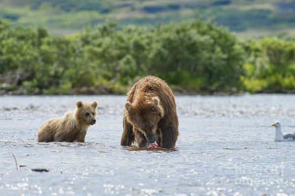 Photograph - Mother Brown Bear Eating Salmon Before Giving To Bear Cubs by Dan Friend