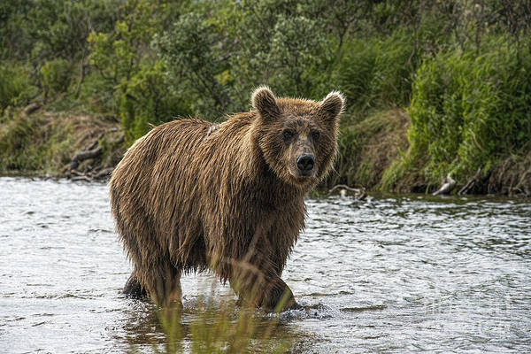 Photograph - Mother Brown Bear Walking Past Bank by Dan Friend
