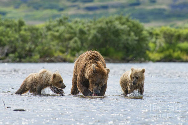 Photograph - Mother Brown Bear With Caught Salmon by Dan Friend