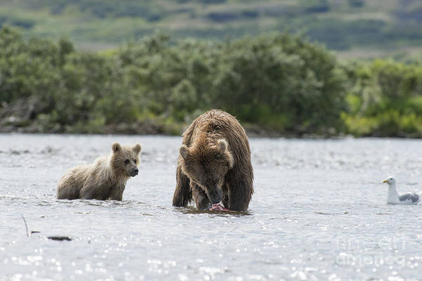 Photograph - Mother Brown Bear With Salmon Bear Cub Looking by Dan Friend