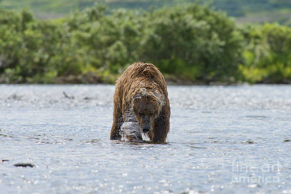 Photograph - Mother Brown Bear With Salmon She Caught by Dan Friend