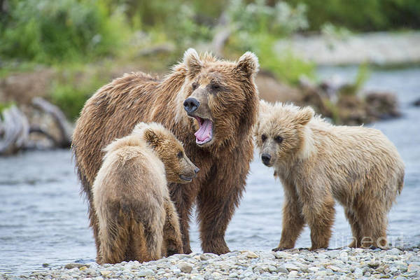 Photograph - Mother Brown Bear Yawning With Two Cubs by Dan Friend