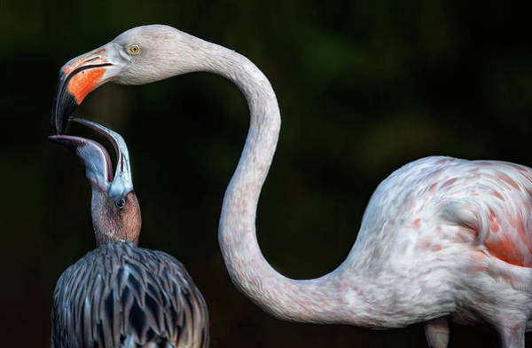 Beaks Photograph - Mother Flamingo With Chick by Xavier Ortega