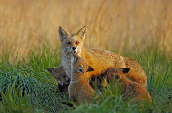 Mother Fox And Kits Art Print