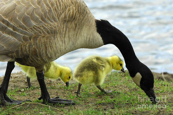 Mother Goose Photograph - Mother Goose by Bob Christopher