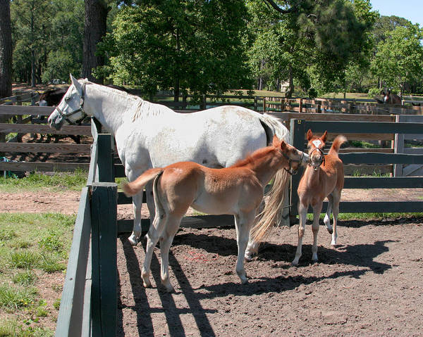 Photograph - Mother Horse With Twin Colts by Mary Almond