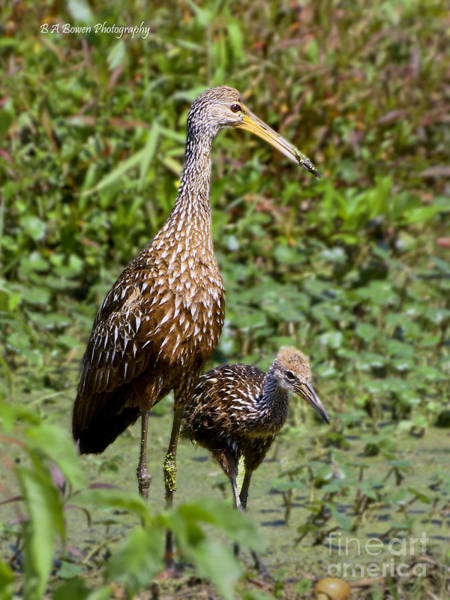 Photograph - Mother Limpkin And Colt by Barbara Bowen