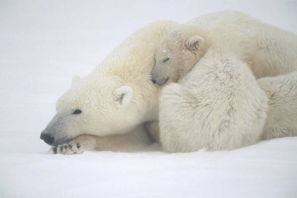 Wall Art - Photograph - Mother Polar Bear & Cub Huddle In Snow by Kenneth Whitten