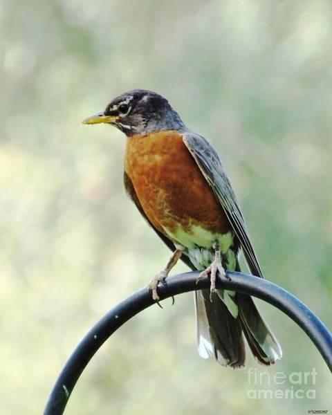 Photograph - Mother Robin by Lizi Beard-Ward
