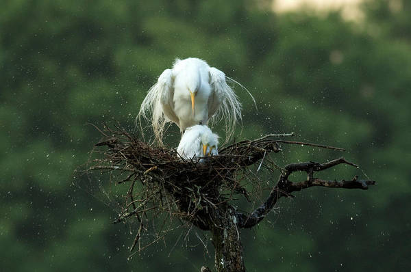 Egret Photograph - Motherly Love by Libby Zhang
