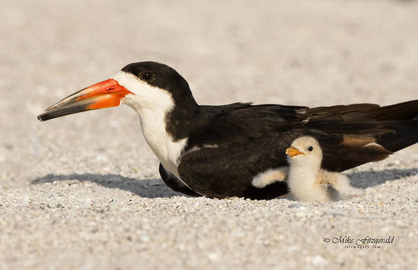Photograph - Mothers Care by Mike Fitzgerald