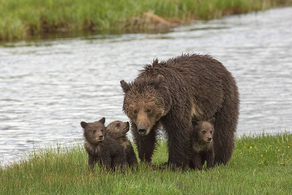 Grizzly Bears Photograph - Mother's Day by Sandy Sisti