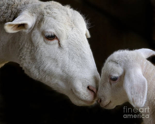 Ewe Photograph - Mother's Love by Linda D Lester