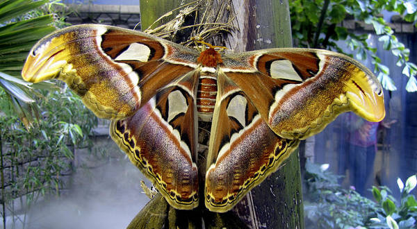 Photograph - Atlas Moth by Bob Slitzan