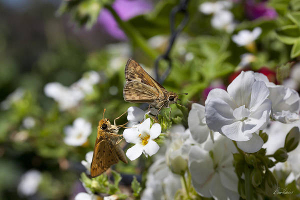 Photograph - Moths Dancing On White Flowers by Diana Haronis