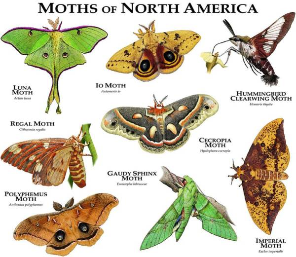 Clearwing Moth Photograph - Moths Of North America by Roger Hall
