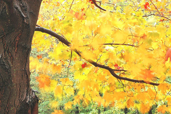 Photograph - Motion Of Autumn Leaves On Tree by Gary Slawsky