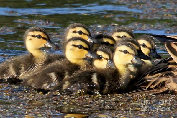 Photograph - Mottled Ducks by Meg Rousher