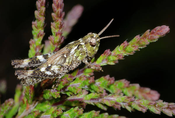 Entomological Photograph - Mottled Grasshopper Juvenile by Nigel Downer